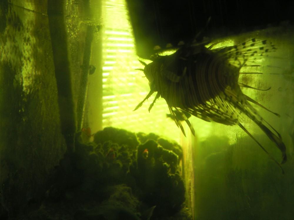 My Lionfish