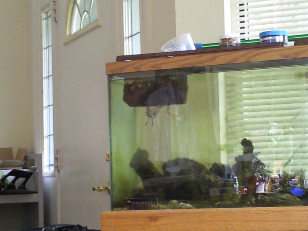 Lion Fish Peering